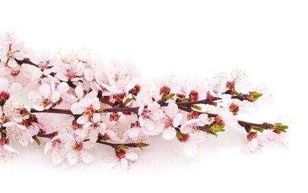 Foto für Spring flowering with apricot branch isolated on a white background. - Lizenzfreies Bild