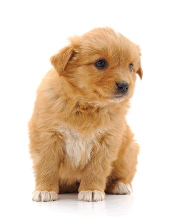 Photo pour Brown beautiful puppy isolated on a white background. - image libre de droit