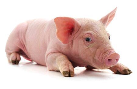 Photo pour Little pink pig isolated on white background. - image libre de droit