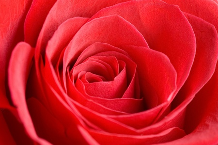 Beautiful red rose as a background