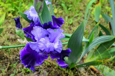 Photo for Close-Up. iris flower outdoors, blue iris flower in the garden. Sunny spring day in the park. - Royalty Free Image