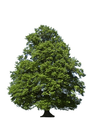 oak green tree on white