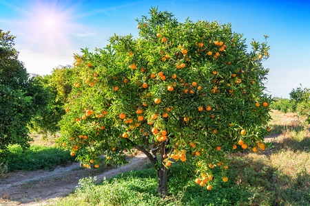 Foto per lush orange tree with juicy fruits in the garden under sunlight - Immagine Royalty Free