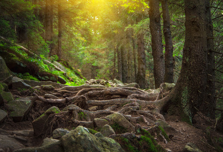 Landscape dense mountain forest and stone path between the roots of trees.