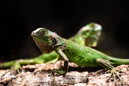Foto de Lizard families together couple tree rock nature animal iguana cute sweet - Imagen libre de derechos