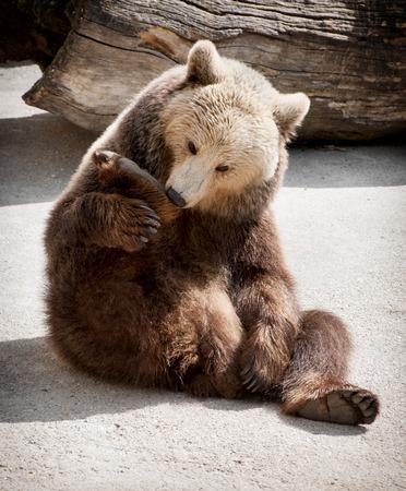 Brown bear (Ursus arctos arctos) sitting on the ground and licks his paw.