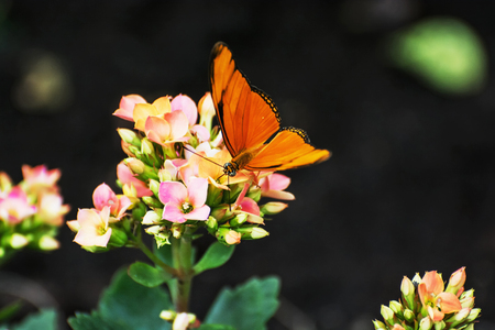Photo pour Beautiful orange butterfly pollinating small pink and yellow flowers. Fauna and flora. Seasonal natural scene. Beauty in nature. Vibrant color. - image libre de droit