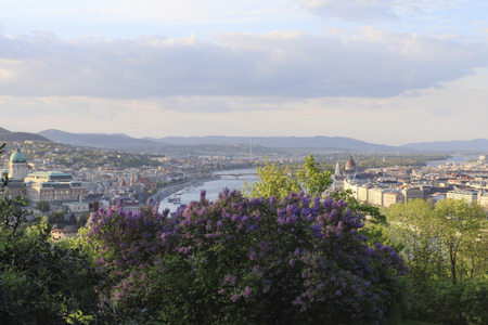Hungary, blooming lilac bushes and view from Gellert hill on the Budapest city in spring.