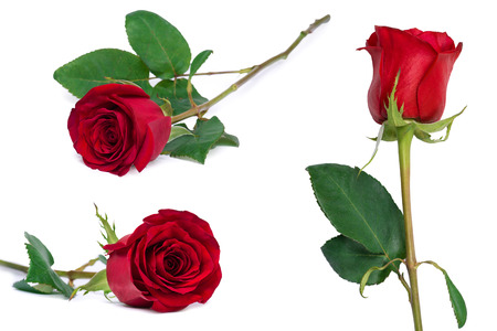 red rose set flower close-up isolated on white with clipping path included