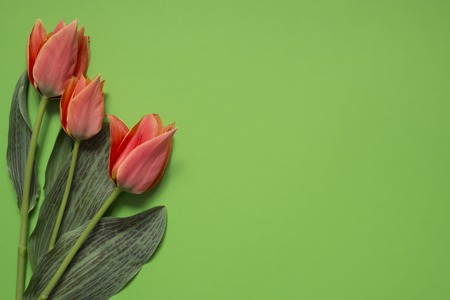 Foto de spring tulip flowers on green background. Top view composition. Pastel colors - Imagen libre de derechos