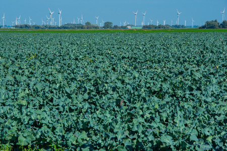 Broccoli field in the cabbage growing region Schleswig Holstein