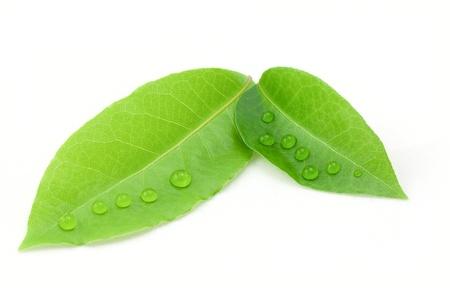 Laurel leaf isolated on white background