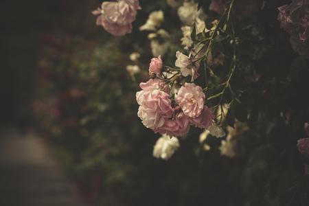 Photo pour gentle light pink roses by the pathway selective focus - image libre de droit
