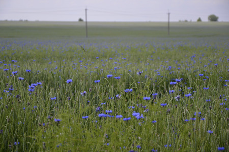 Boundless cornflower field with green wheat, which extends to the edge of the sky, blueness