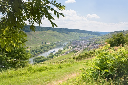 view on town Zell in  Moselle valley and Mosel river in summer day, Germany