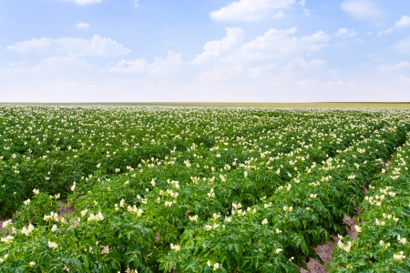 agricultural field of potato plant in France