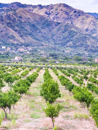 agricultural tourism in Italy - tangerine orchard in Alcantara region of Sicily