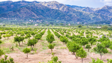 agricultural tourism in Italy - tangerine trees in garden in Alcantara region of Sicily