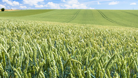 country landscape - panoramic view of green wheat field in Picardy region of France in summer day