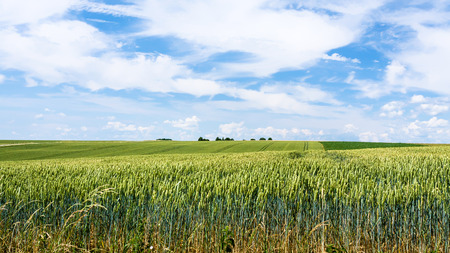 country landscape - blue sky with white clouds over green wheat field in Picardy region of France in summer day