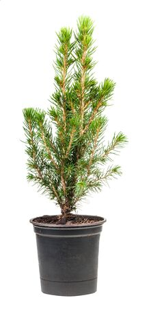 Photo for little green spruce ( white spruce, picea glauca conica) in pot isolated on white background - Royalty Free Image