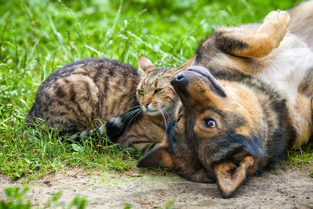 Foto per Dog and cat best friends playing together outdoor. Lying on the back together. - Immagine Royalty Free