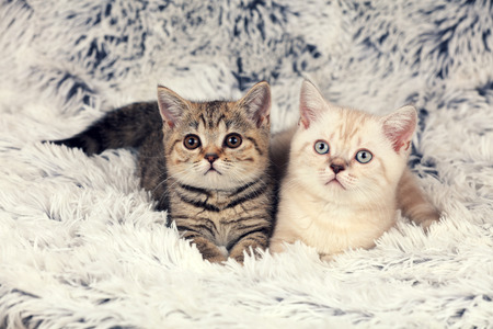 Two little kittens lying on fluffy blanket