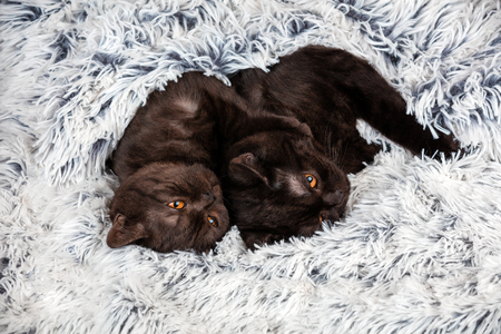 Two brown kitten lying together on fir blanket