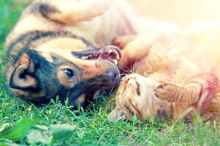 Photo pour Dog and cat playing together on the grass at sunset - image libre de droit