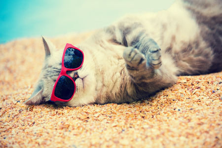 Photo pour Ð¡at wearing sunglasses relaxing on the beach - image libre de droit