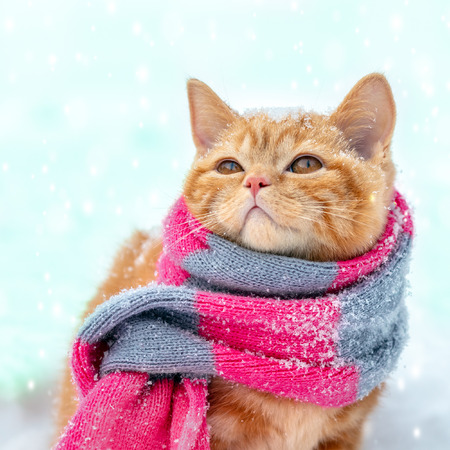 Foto de Little red kitten wearing knitted scarf sits on the snow in winter - Imagen libre de derechos