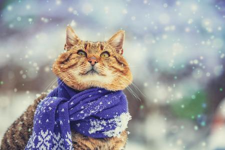 Foto per Portrait of a cat wearing a scarf in snowy winter near fir tree - Immagine Royalty Free