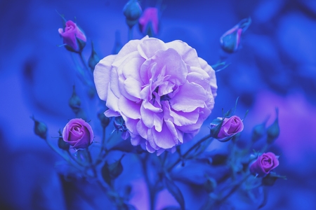 Foto de Rosebush in the garden. Blue vintage flower nature background - Imagen libre de derechos