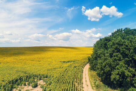 Photo pour Rural dirt road along the field of sunflowers. Picturesque sunflower field, top view. The rural landscape on a summer sunny day. Nature background - image libre de droit