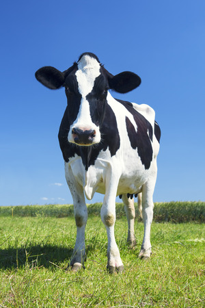 Photo pour cow in the green grass and blue sky - image libre de droit