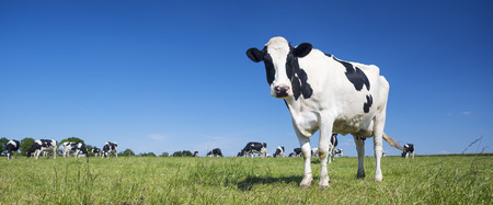 Photo pour Panoramic view of black and white cow on green grass. - image libre de droit