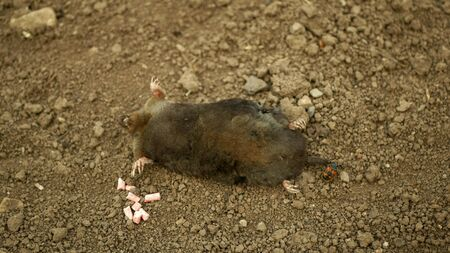 Poisoning by poison pellet rodenticides pesticide agriculture against rodents voles mice. mole European Talpa dead death corpse soil ground mouse, burying beetle Nicrophorus vespillo deratization