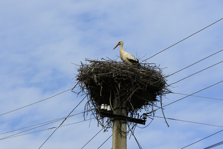 Big wild stork stands in his nest built on the electric pillar with many wires