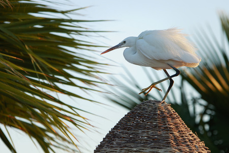 Graceful egyptian heron with white plumage stands on the straw roof in the dawn light with palms in the background