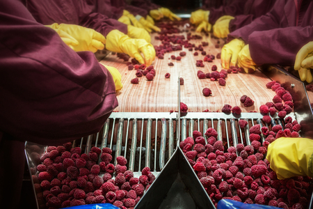 Photo pour Workers on the assembly line in sorting frozen raspberries - image libre de droit