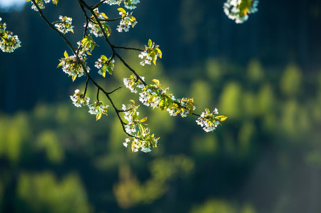 Cherry tree blossom in Fischerbach Black Forest BadenWurttemberg Germany Europe
