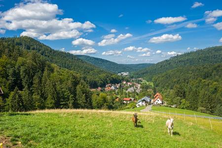 Goats, Capra aegagrus hircus, in the upper Gaistal in Bad Herrenalb. Black Forest, Baden-Wurttemberg, Germany, Europe