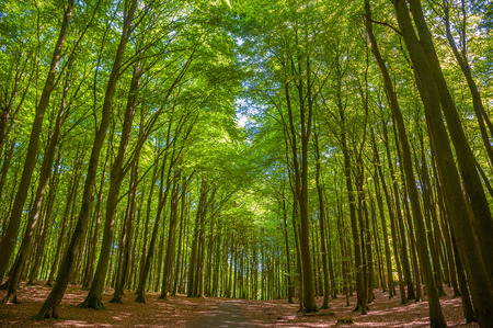 Beech forest in the National Park Jasmund near Sassnitz on the island of Rugen