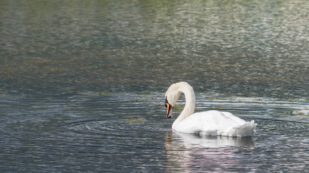 Mute Swan - Cygnus olorIn swimming in lake water water with surrounding park trees.