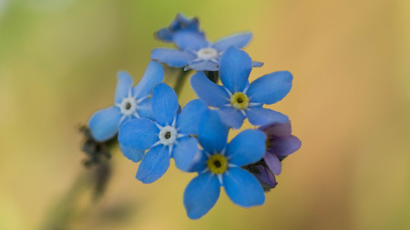 timelittle blue forget me not flowers, spring time