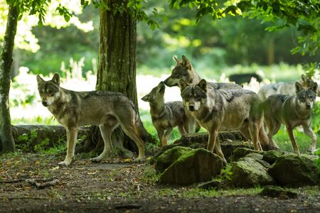 Photo pour Gray wolf family in the forest - image libre de droit