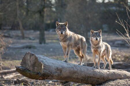 Foto de Grey wolf in the forest - Imagen libre de derechos