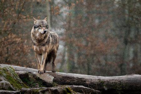 Photo pour Grey wolf in the forest - image libre de droit
