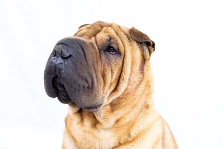 Photo for Portrait of a sharpei with a white background - Royalty Free Image
