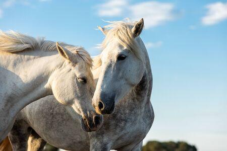 Photo pour Camargue Horses in the south of France - image libre de droit